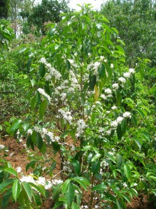 A newly-flowering coffee plant