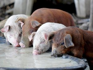 Pigs drinking whey at Jasper Hill Farm