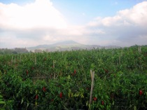 Piment d'Espelette Pepper Field