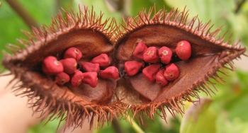 Fruit of the Achiote Tree - Annatto Seeds Inside