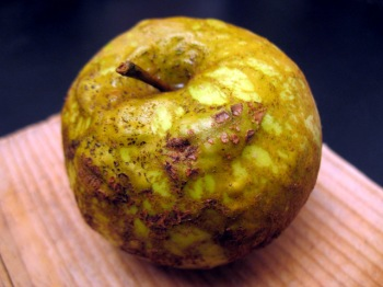 Knobbed Russet - Heirloom Apple