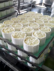 Harbison Curds in Molds