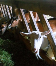 Goats at Rawson Brook Farm