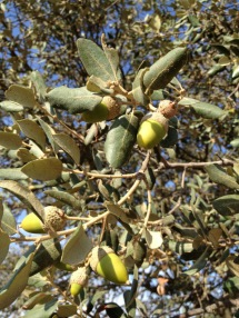 Bellotas - Spanish acorns from Extremadura