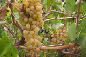 Palomino Grapes