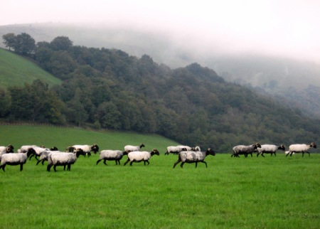 Ekiola Sheep in the Pyrenees Mountains