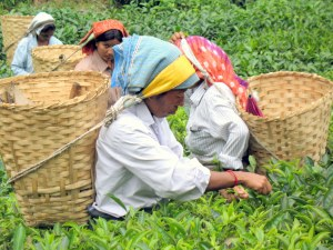 Women picking tea in Darjeeling, India