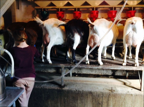 Milking the goats at Big Picture Farm