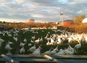 Turkeys at Misty Knoll Farm