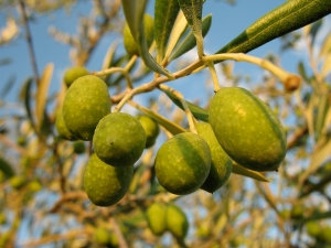 Italian Olive Tree